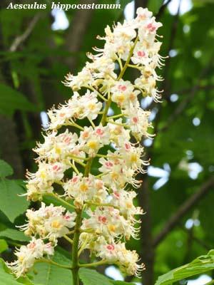 Fiori di ippocastano - Aesculus hippocastanum