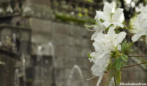 Rododendri - Rhododendron