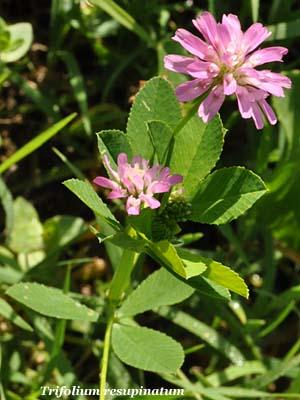 Trifoglio persiano - Trifolium resupinatum