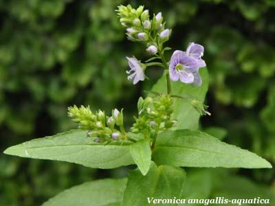Veronica acquatica Veronica anagallis-aquatica