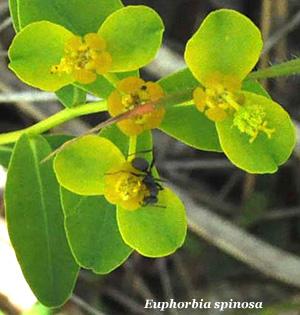 euphorbia spinosa subsp. ligustica