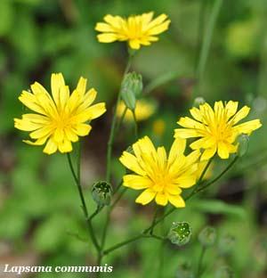 Lassana - fiori e fogliefiori e foglie