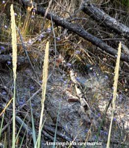 ammophyla arenaria