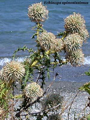 echinops spinosissimus