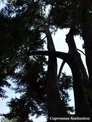 Alberi monumentali - Cupressus lusitanica