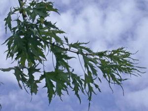 Betulla laciniata
