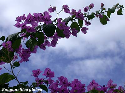 Bouganville fiori e fogliefiori e foglie for Pianta bouganville