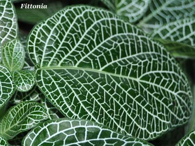 fittonia argyroneura