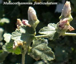 malacothamnus fasciculatum