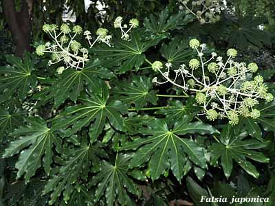 Fatsia fiori e fogliefiori e foglie for Pianta eugenia