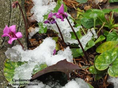 cyclamen neapolitanum