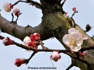 prunus armeniacus