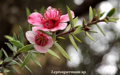 leptospermum sp