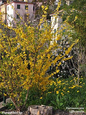 forsythia spa - tarassacum officinalis