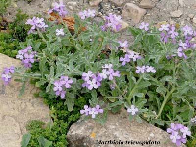 matthiola tricuspidata