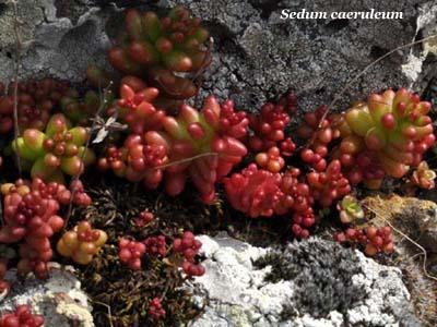 sedum caeruleum