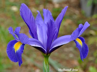 'Holland' iris