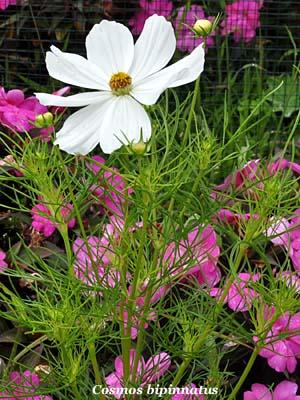 Cosmea fiori e fogliefiori e foglie for Pianta mediterranea con fiori rossi bianchi e gialli