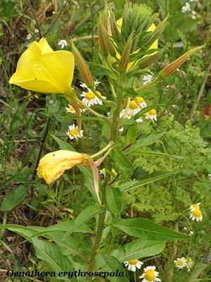 oenothera erythrosepala