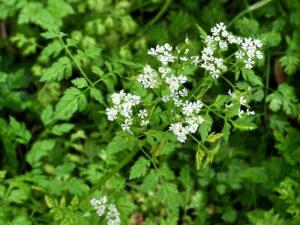 Anthriscum cerefolium