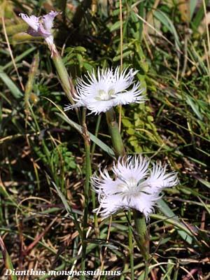 dianthus monspessulanus