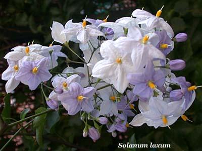 solanum sp