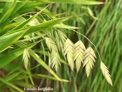 uniola latifolia