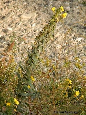 oenothera sp