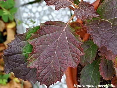 Ortensia quercifolia fiori e fogliefiori e foglie for Ortensia quercifolia