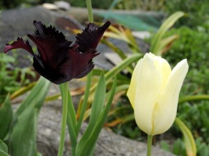 Tulipa sp