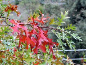 Quercus coccinea - Quercia rossa