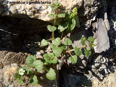 Veronica cymbalaria