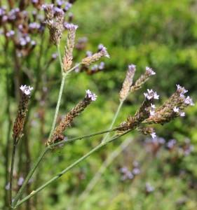 Verbena litoralis