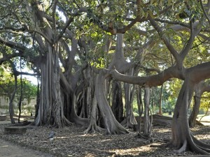 Ficus macrophylla subsp. columnaris