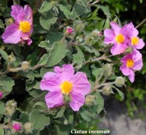 Cistus creticus subsp. eriocephalus