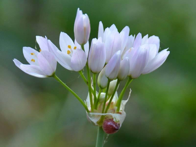 Aglio selvatico fiori e foglie for Quando piantare l aglio