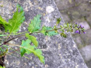 Salvia minore