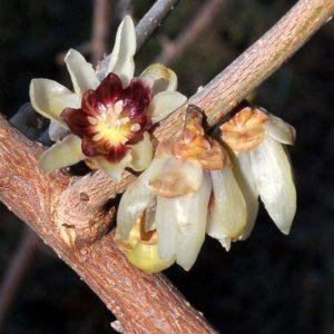 Fiore di calicanto