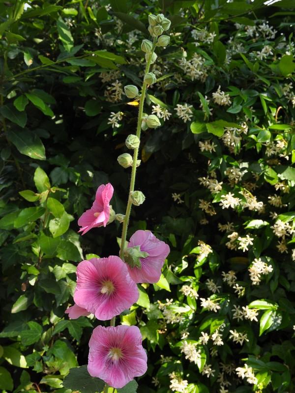 Alcea rosea fiori e fogliefiori e foglie for Alcea rosea