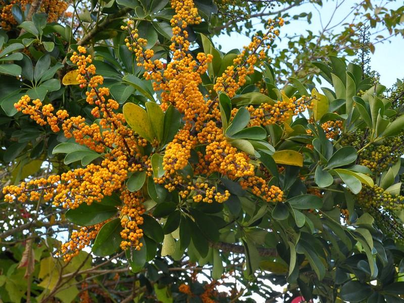 Schefflera fiori e fogliefiori e foglie - Pianta schefflera ...