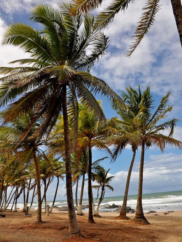 Palma da cocco fiori e fogliefiori e foglie - Palma di cocco ...