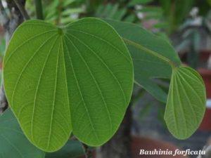 Bauhinia forficata