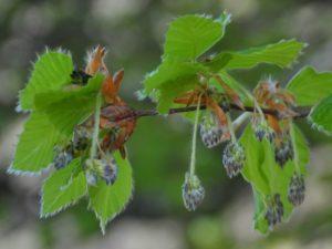 Fiori di faggio - Fagus sylvatica