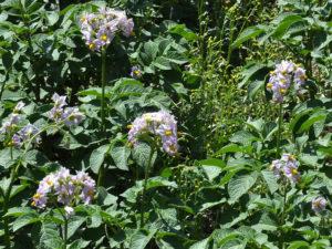 Solanum tuberosum - patata a fiori rosa
