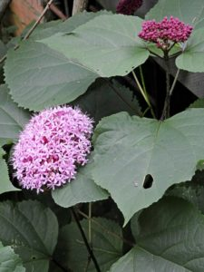 Clerodendro cinese