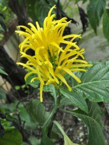 Acanthaceae - Justicia aurea