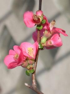 Cotogno da fiore -Chaenomeles speciosa