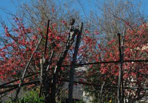 Cotogno da fiore - Chaenomeles speciosa