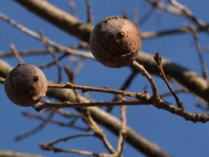 Andricus quercustozae - Cinipide della roverella