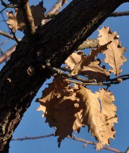 Quercus pubescens - Roverella